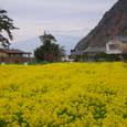富士山&菜の花